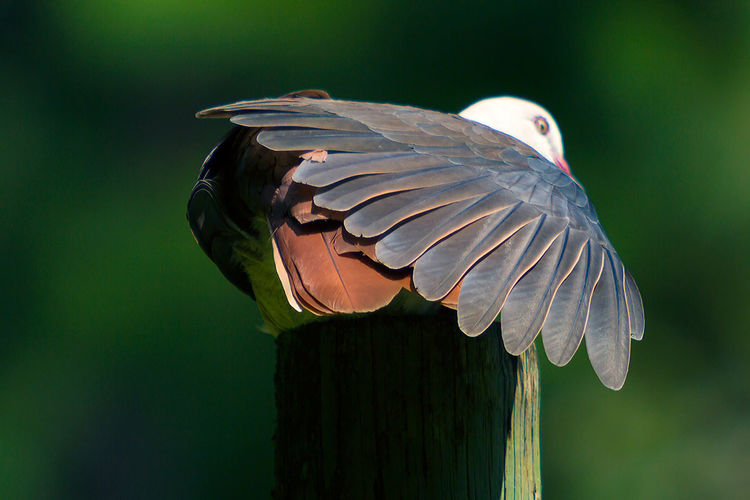 Pink Pigeon Animal Themes Animal Wildlife Animals In The Wild Beauty In Nature Bird Close-up Day Flying Mauritius Island  Nature No People One Animal Outdoors Spread Wings