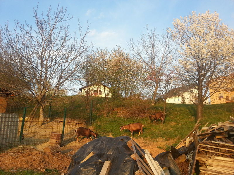 EyeEmNewHere Goust Animals Country Living Countrylife Nature Outdoors Animal Themes Animal In The Grass Animal In Garden Country Life Beauty In Nature No People Springtime Tree Day House Country House country animals Croatia