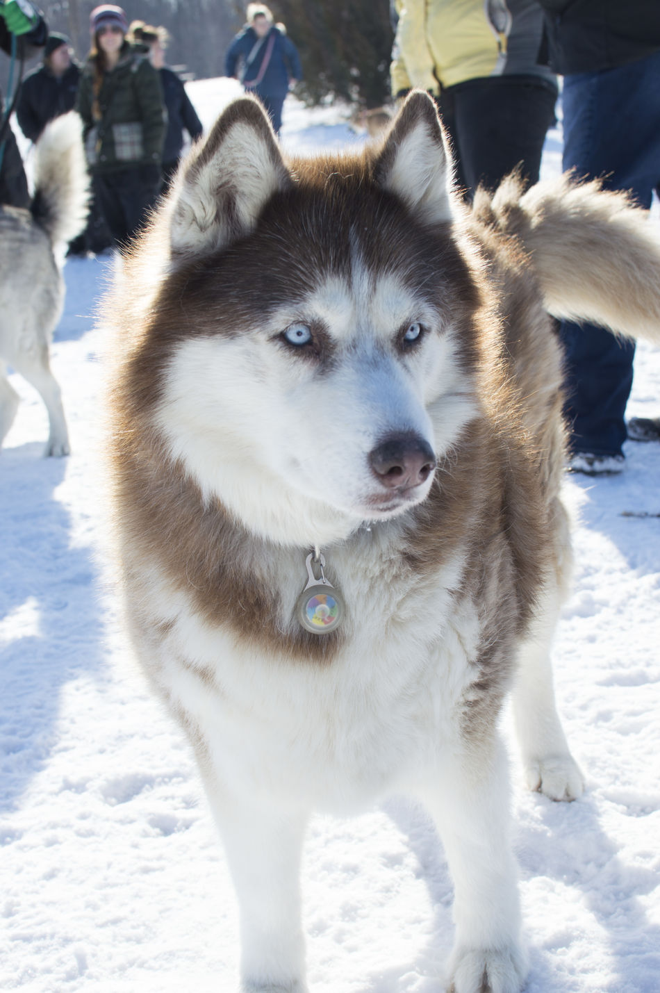 BlueEyes Cold Temperature Day Dog Husky Looking At Camera Mammal Nature No People Outdoors Pets Portrait Siberian Husky Siberian Husky Sled Dog Snow Winter Minnesota Nature Minnesota Mn Beauty In Nature Husky ♡ White Color One Animal