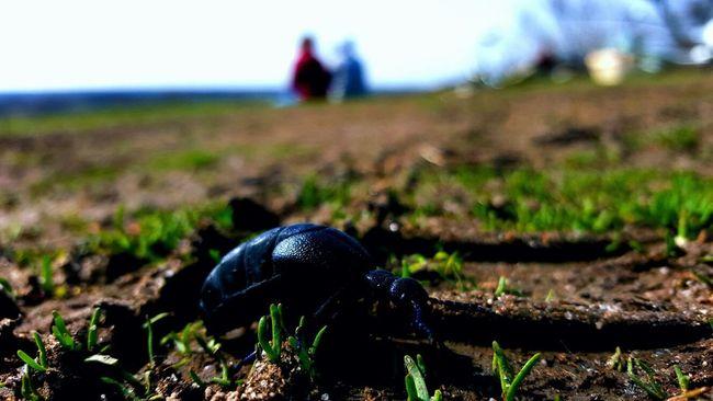 Beetle Blue Beetle Blurred Background Showcase April