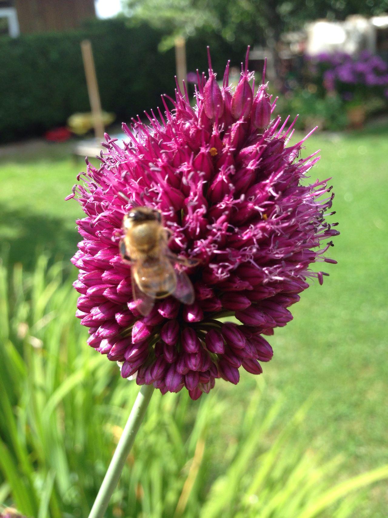Bees And Flowers Bees Bienen  Bienen Bei Der Arbeit Wildbienen Bee Biene Wildbee Wildbiene Lauch Kugellauch Zierlauch Garden Photography Garden Allium Flower Allium Sphaerocephalon Garten Pflanze Natur