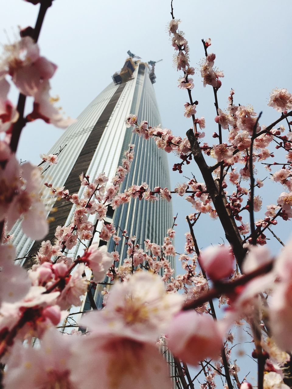 Low Angle View Of Cherry Blossom Blooming By Lotte World Tower