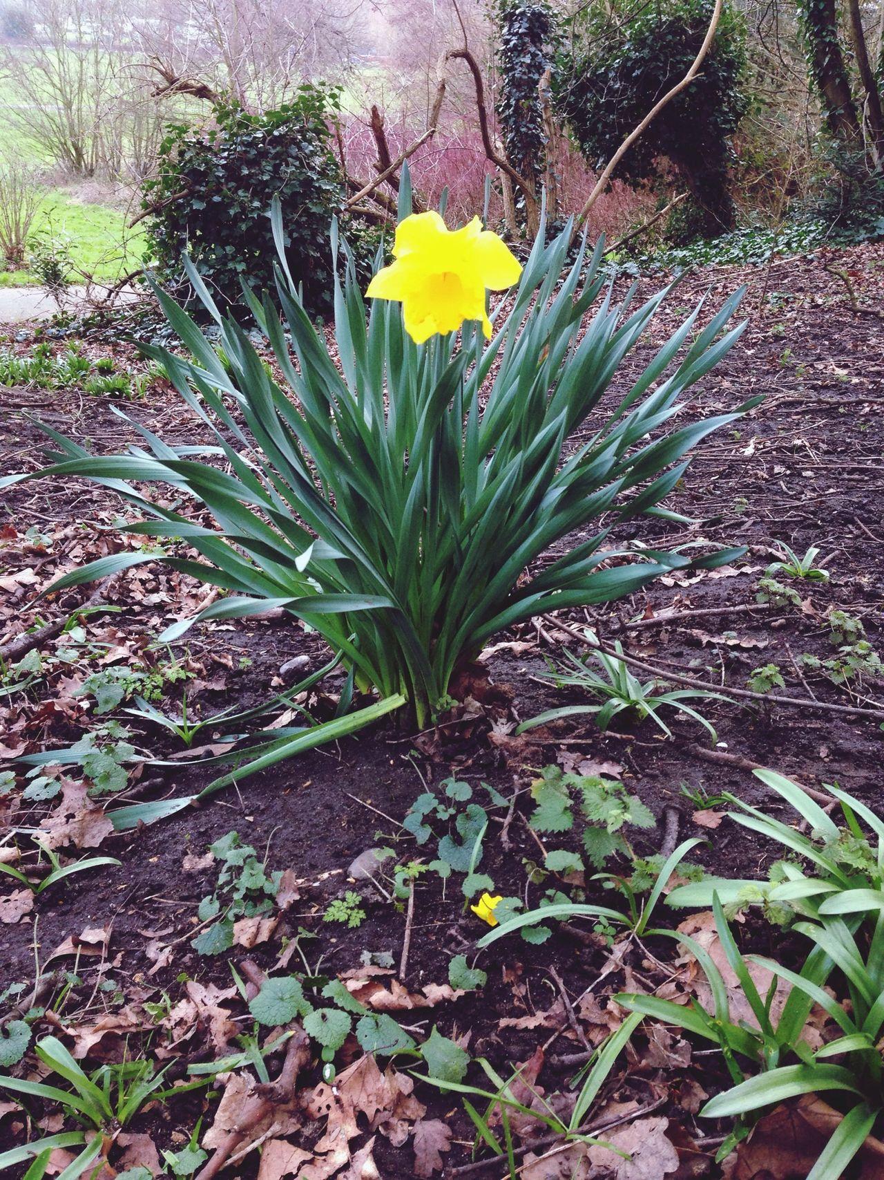 Daffodil Spring Alone