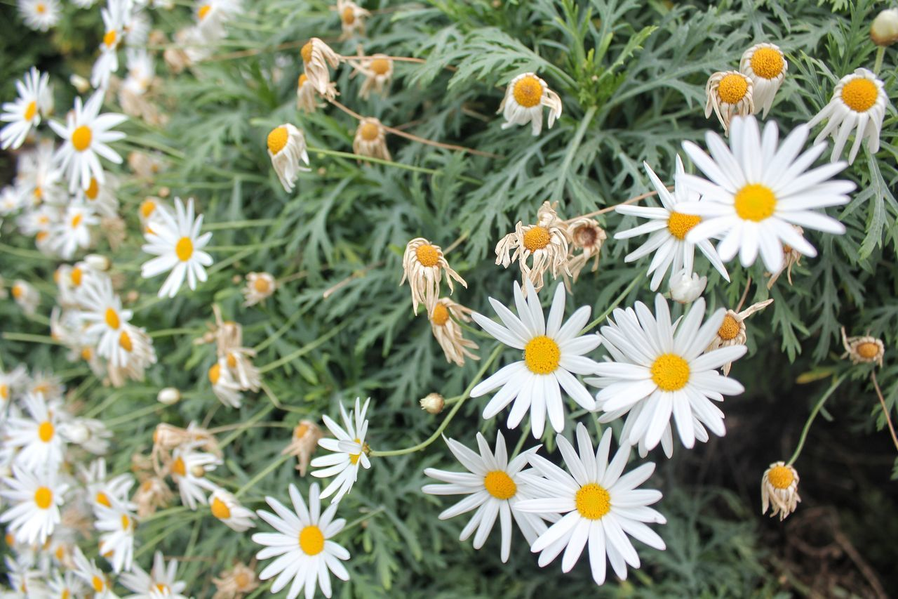 Flower Nature Plant Beauty In Nature Fragility Growth No People Outdoors Insect Day Close-up Freshness Flower Head Daisy Daisy Flower Daisy ♥ Daisy 🌼 Daisies ♥  Daisy💜 Daisies Daisies Flowers Daisy Close Up Daisy Meadow Daisyflower