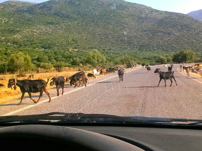 Goats Antiquity Old Way Goat Life Waiting ....for the Goats Crossing The RoadThe Tourist Traveling Heritage The Old Country GREECE ♥♥
