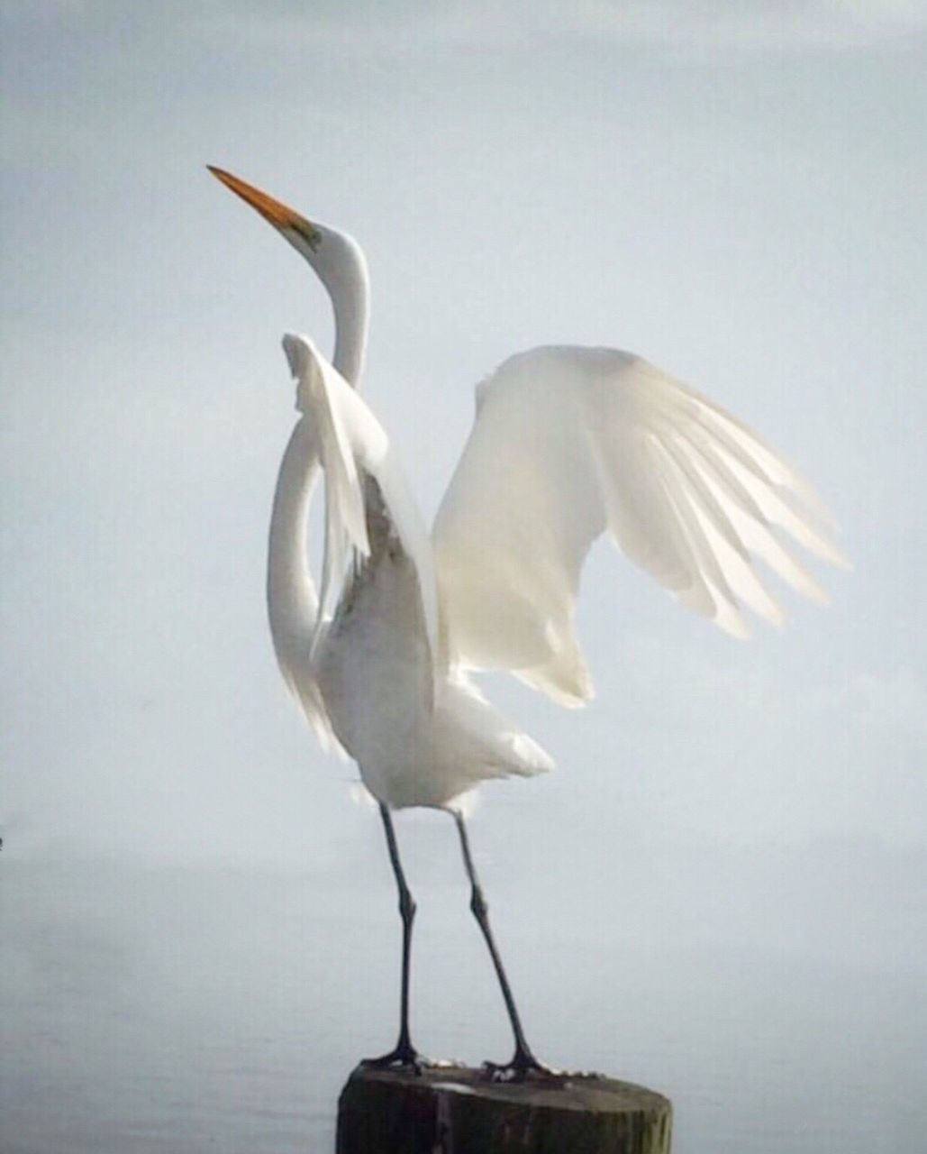 bird, one animal, animal themes, animals in the wild, animal wildlife, no people, great egret, spread wings, full length, water, day, nature, standing, sea, outdoors
