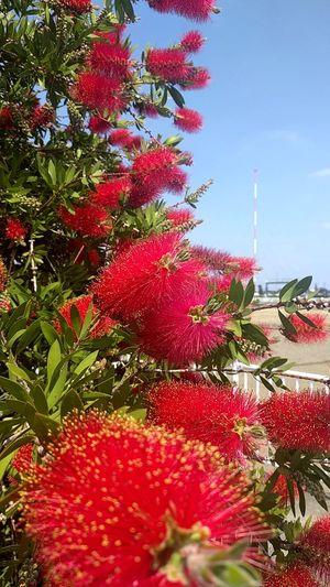 なんだろ?この赤いタワシみたいなの?街路樹にってのは極めて珍しいけど。