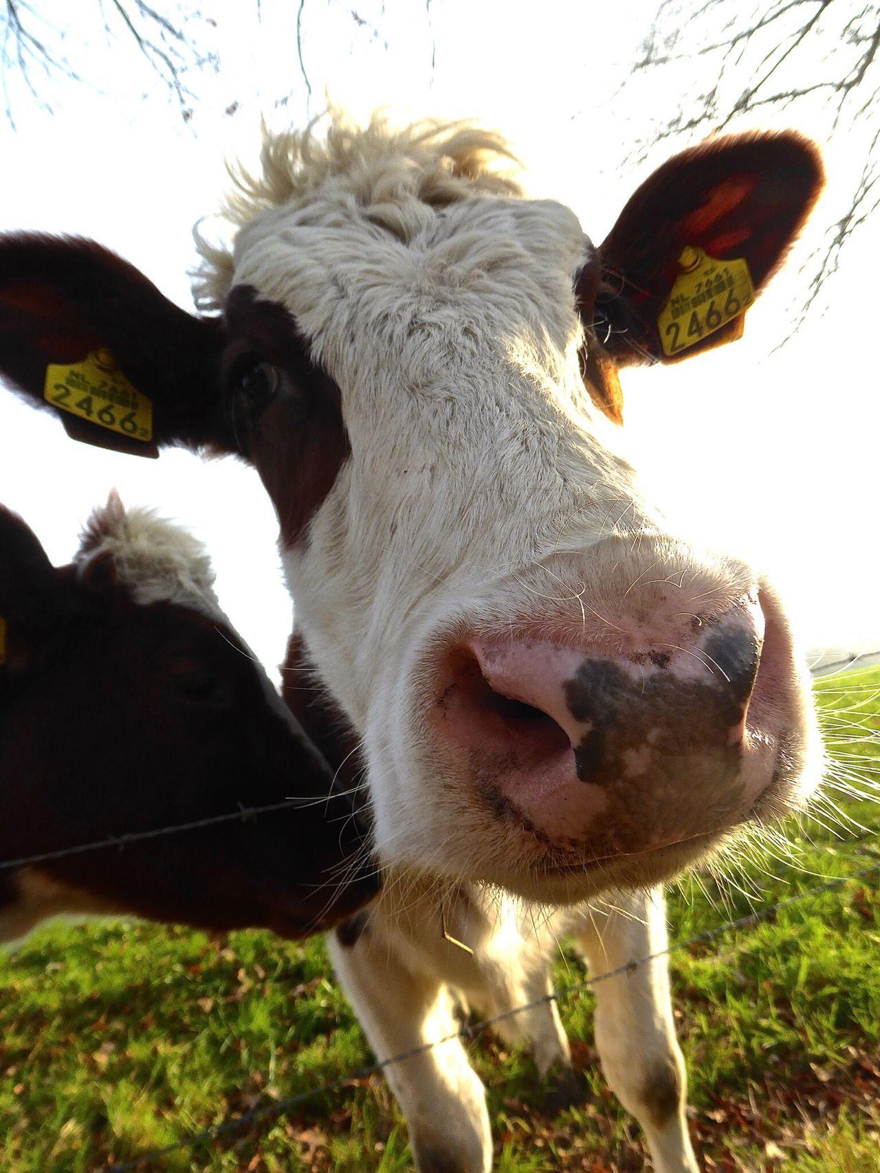 Cow Koe Driebergenrijssenburg Nosy