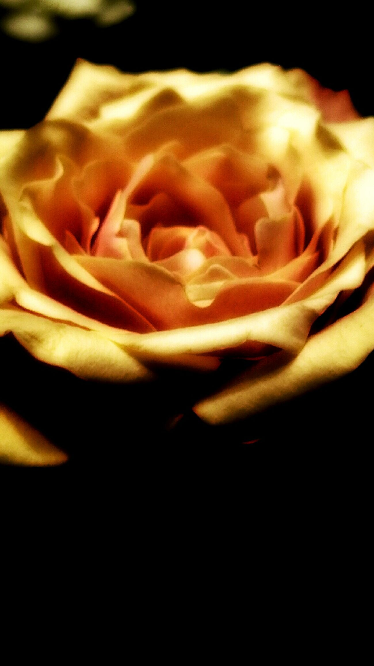 Have a sweet romantic night... Roses CreativePhotographer Showing Why I Could Be An Open Editor EyeEm Best Shots - Flowers Macro Macro_collection The Flowers Series Eyem Best Shots Eye Em Best Shots EE_Daily: Orange Tuesday