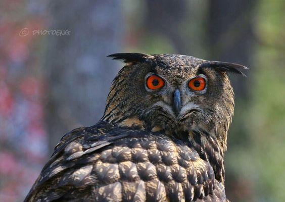 Eurasian eagle owl by English