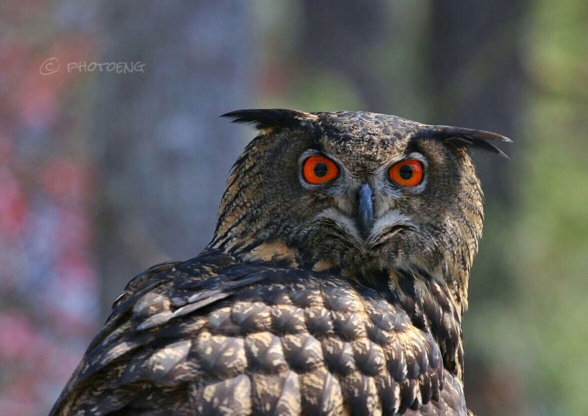 Nature_collection Birds Of EyeEm  EyeEm Birds Eurasian Eagle Owl