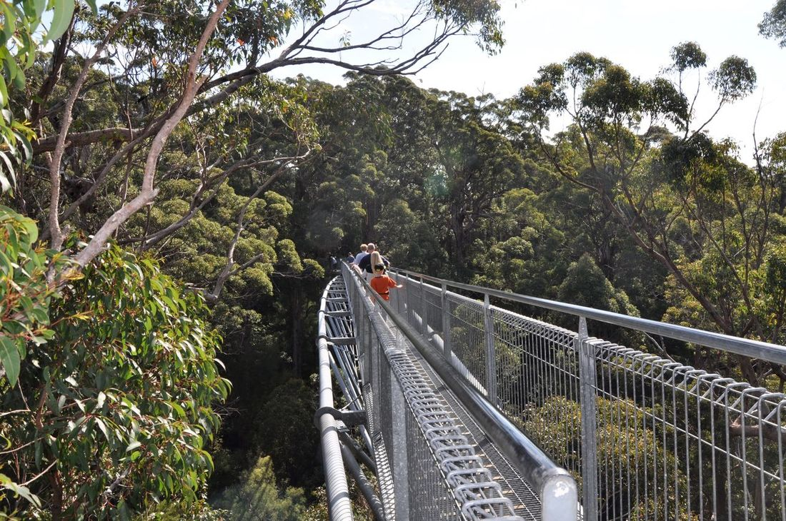 Tourists in the tree canopy walking the elevated Tree Top Walk in the tingle tree forest near Denmark, Western Australia. Architecture Bridge Bridge - Man Made Structure Built Structure Canopy Connection Crossing Day Elevated View Engineering Exploring Footbridge Forest Growth Lush Foliage Nature Railing Tingle Trees Tourist Attraction  Tourists Tree Tree Top Walk Valley Of The Giants Western Australia WoodLand
