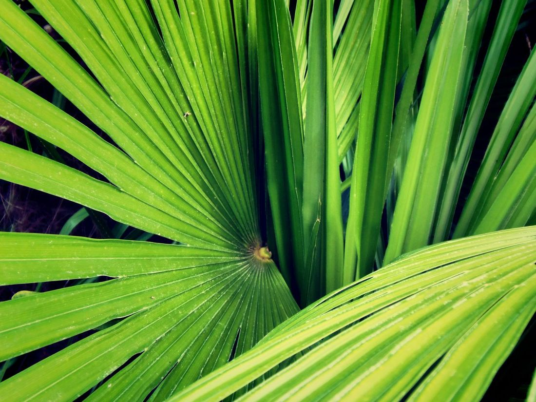 Beauty In Nature Botany Close-up Exoticism Extreme Close-up Full Frame Green Green Color Growth Leaf Leaves Lush Foliage Natural Pattern Palm Frond Palm Leaf Palm Tree Plant Tropical Climate Palm Trees Palm Leaves Palm Trees ❤❤ Palm Tree Leaves Palmtrees Palmtree Palms