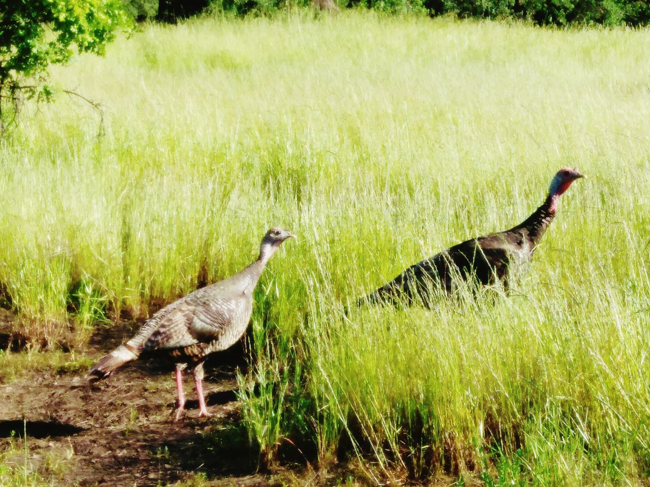 Two Animals Grass Turkeys Outdoors Nature Norcal Rural California Roseville, CA Smartphonephotography Smartphone Photographer From My Point Of View Norcal Cali Life