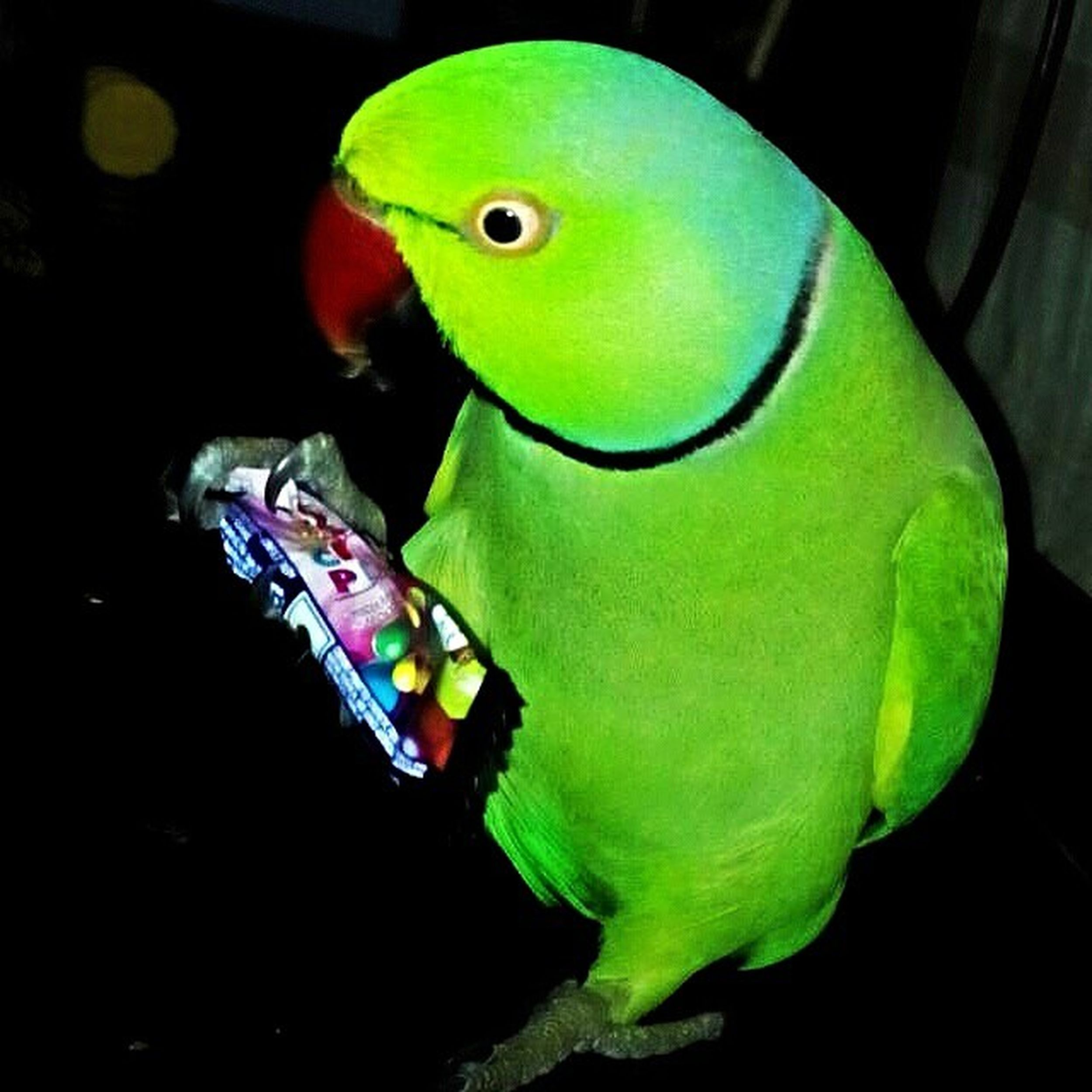 Always hungry and never ceases to make people laugh. Funny Pet Family Member Petstagram Green Bird Parrot Mitthu Photooftheday Gems Hilarious Endless Searchforfood Wings Playful Animallover Lovepets