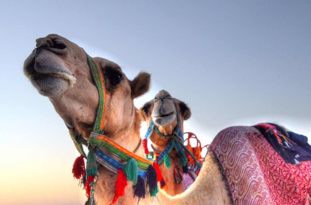 domestic animals, working animal, camel, animal themes, copy space, one animal, desert, livestock, clear sky, jockey, mammal, low angle view, outdoors, multi colored, competition, day, sky, people