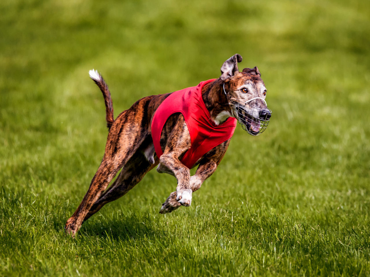 Animal Animal Themes Coursing Dog Grass Grayhound Racing No People One Animal