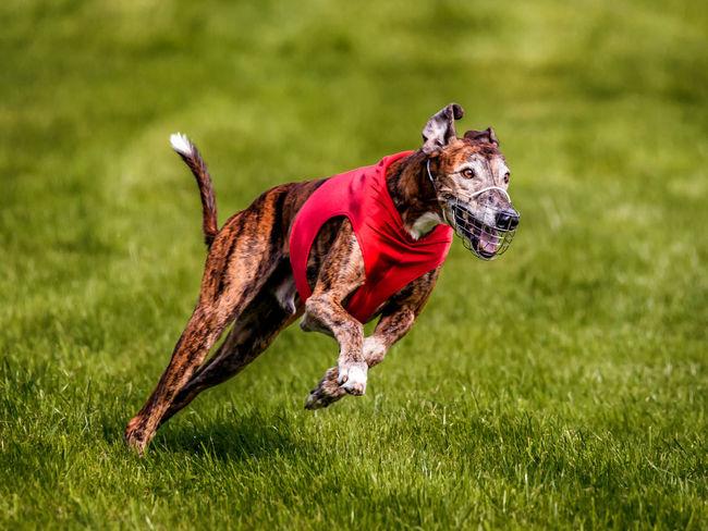 Animal Animal Themes Coursing Dog Grass Grayhound Racing No People One Animal