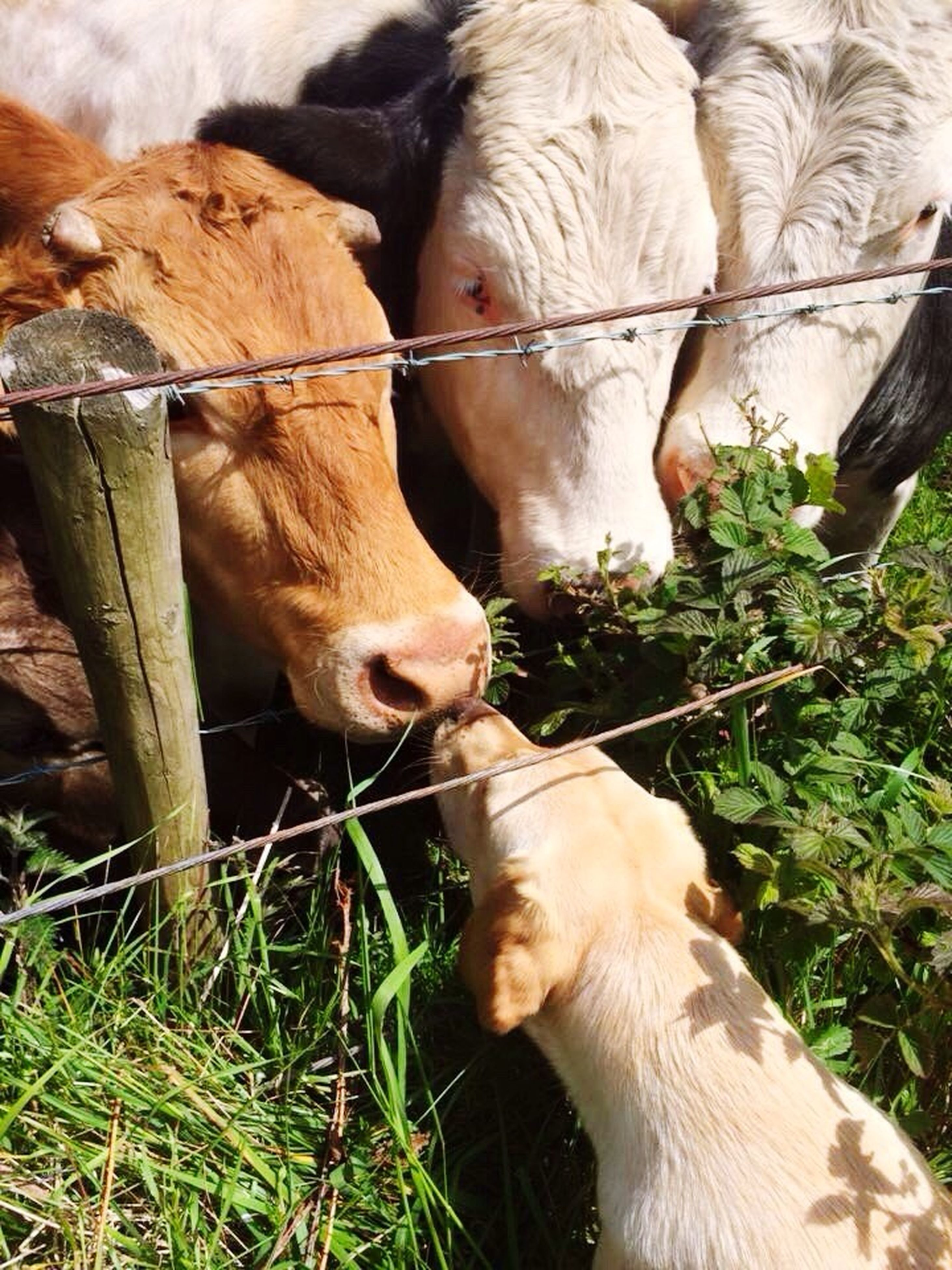 animal themes, domestic animals, mammal, livestock, grass, two animals, field, herbivorous, domestic cattle, fence, standing, cow, zoology, young animal, one animal, togetherness, cattle, animal pen, nature, goat