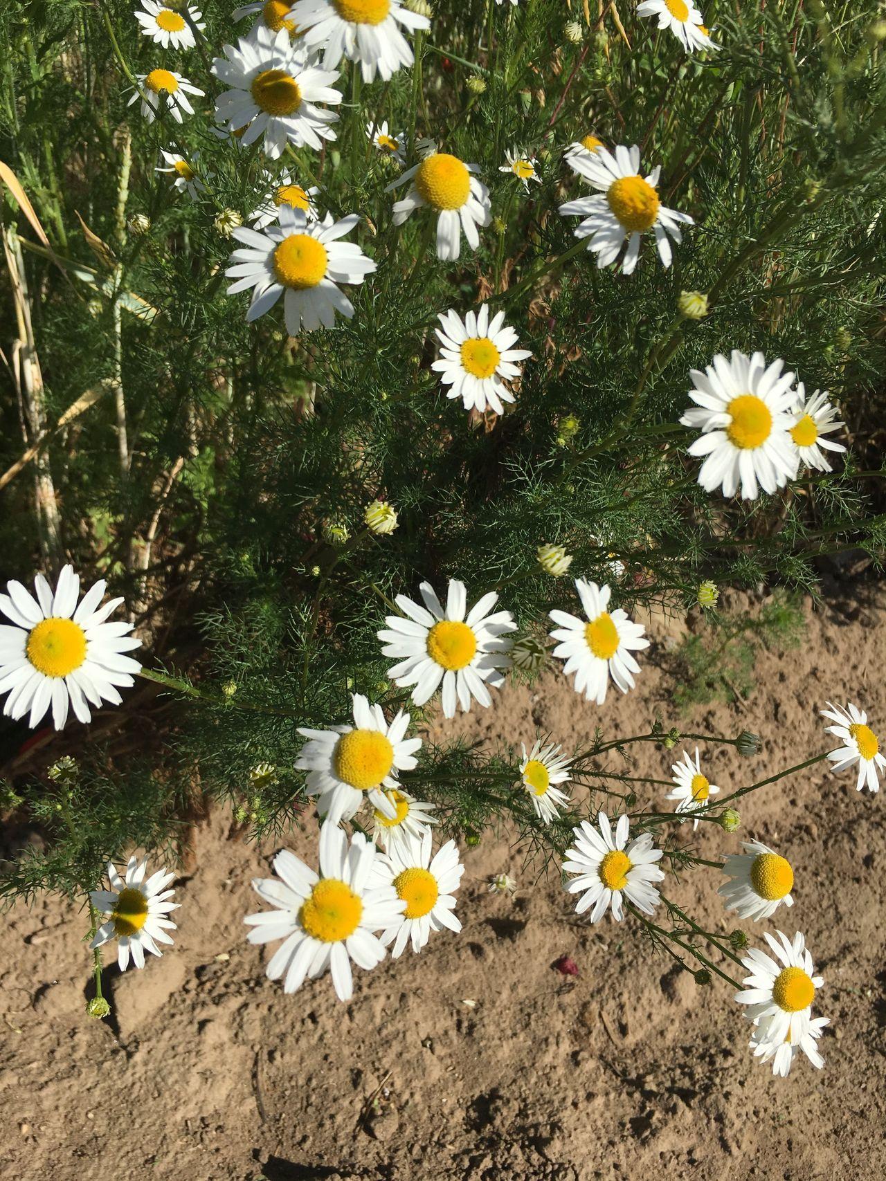 Flower Fragility Petal Freshness Flower Head Nature Growth Daisy Beauty In Nature High Angle View Field No People Blooming Day Outdoors Plant Yellow Close-up