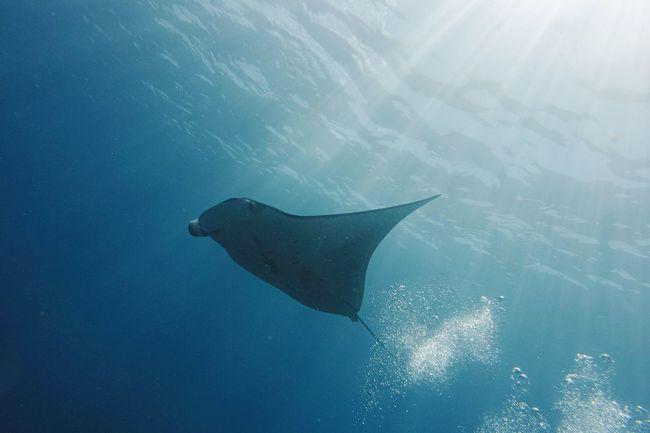 Manta manta manta. Manta Ray Komodo National Park Diving Underwater Photography Scubadiving Blue Underwater