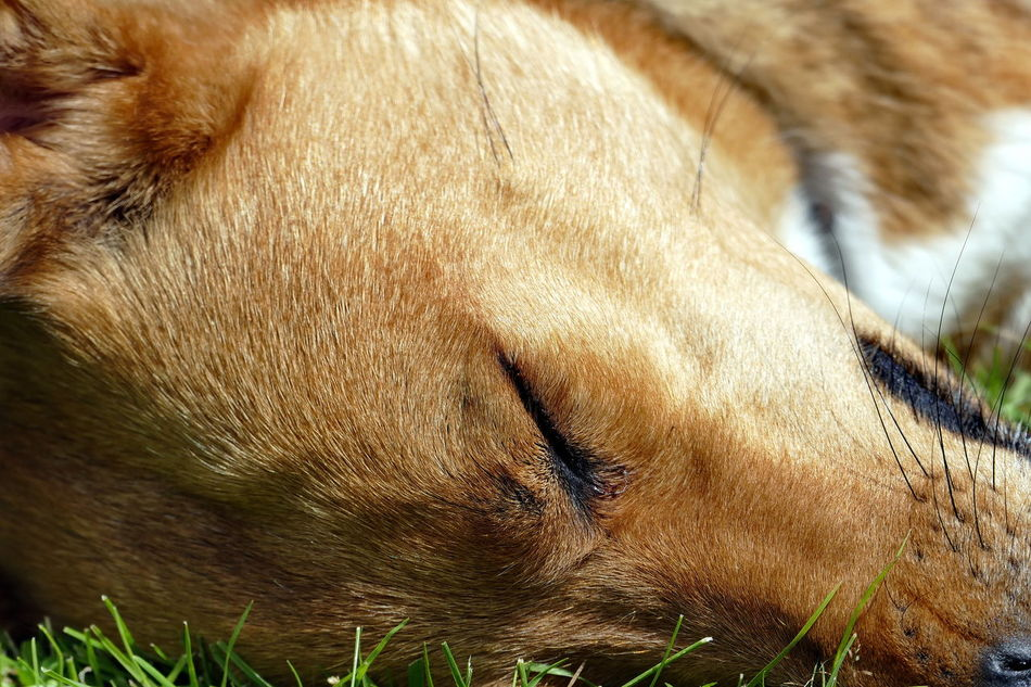 Bruce is taking a nap! Animal Body Part Animal Themes Close-up Day Dog Dog Head Dog Head Shot Dogslife Domestic Animals Mammal Napping Napping Dogs No People One Animal Outdoors Pets Portrait