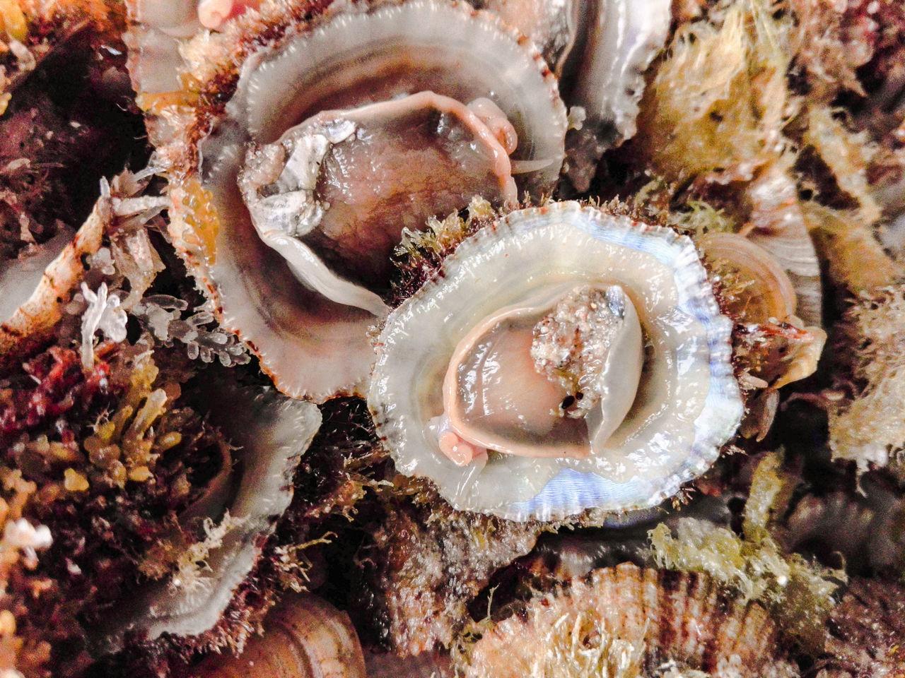 Telline Cockles Gasteropodos Mollusk Cibo Alghero Mare