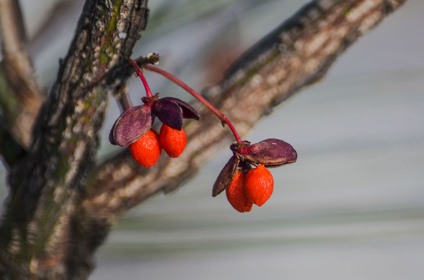 Couples hanging Red Fruit Hanging Close-up Focus On Foreground Food And Drink Nature Branch Freshness Healthy Eating No People Tree Food Outdoors Day Rose Hip On Eyeem Fresh On Eyeem  Eyeem Photography Beauty In Nature Nature Nature Photography Tree EyeEm Best Shots - Nature