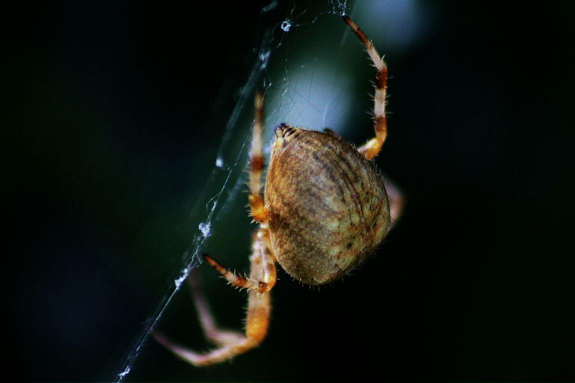 SpidersArse