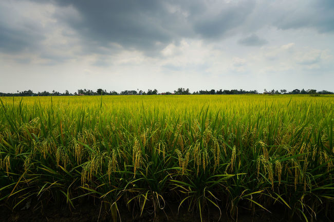 Beautiful view of rice paddy field during cloudy day in Malaysia. Agriculture Beauty In Nature Cereal Plant Cloud Cloud - Sky Crop  Cultivated Land Farm Farmland Field Green Color Growth Idyllic Landscape Majestic Nature Outdoors Plant Plantation Rural Scene Scenics Sky Tranquil Scene Tranquility Yellow