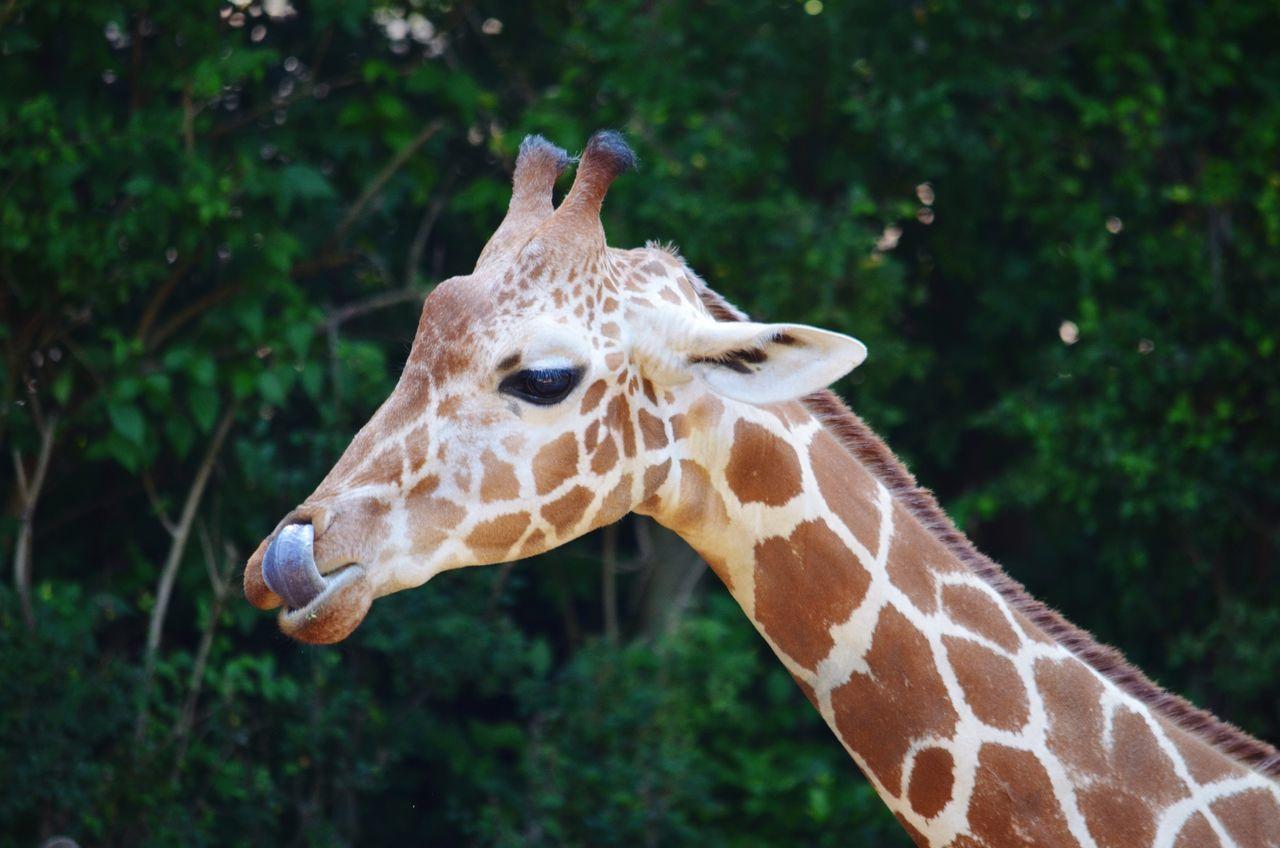 Beautiful stock photos of giraffe, Animal Markings, Animal Neck, Animal Themes, Animal Wildlife