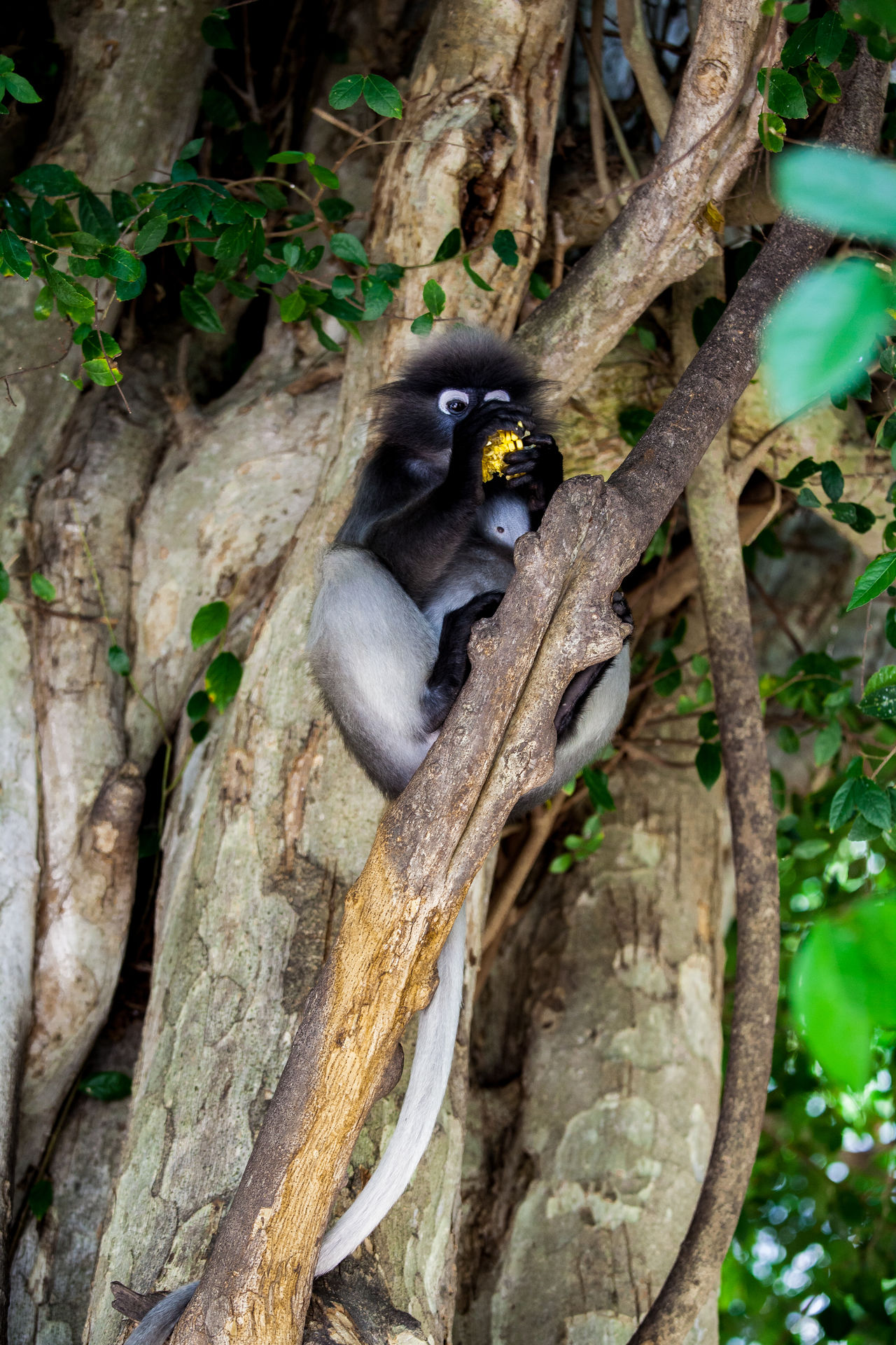 Dusky leaf monkey in Southern Thailand Langur Beauty In Nature Forest Lungoor Monky Natural Pattern Nature Outdoors Plant Tree Tropical Climate Twig