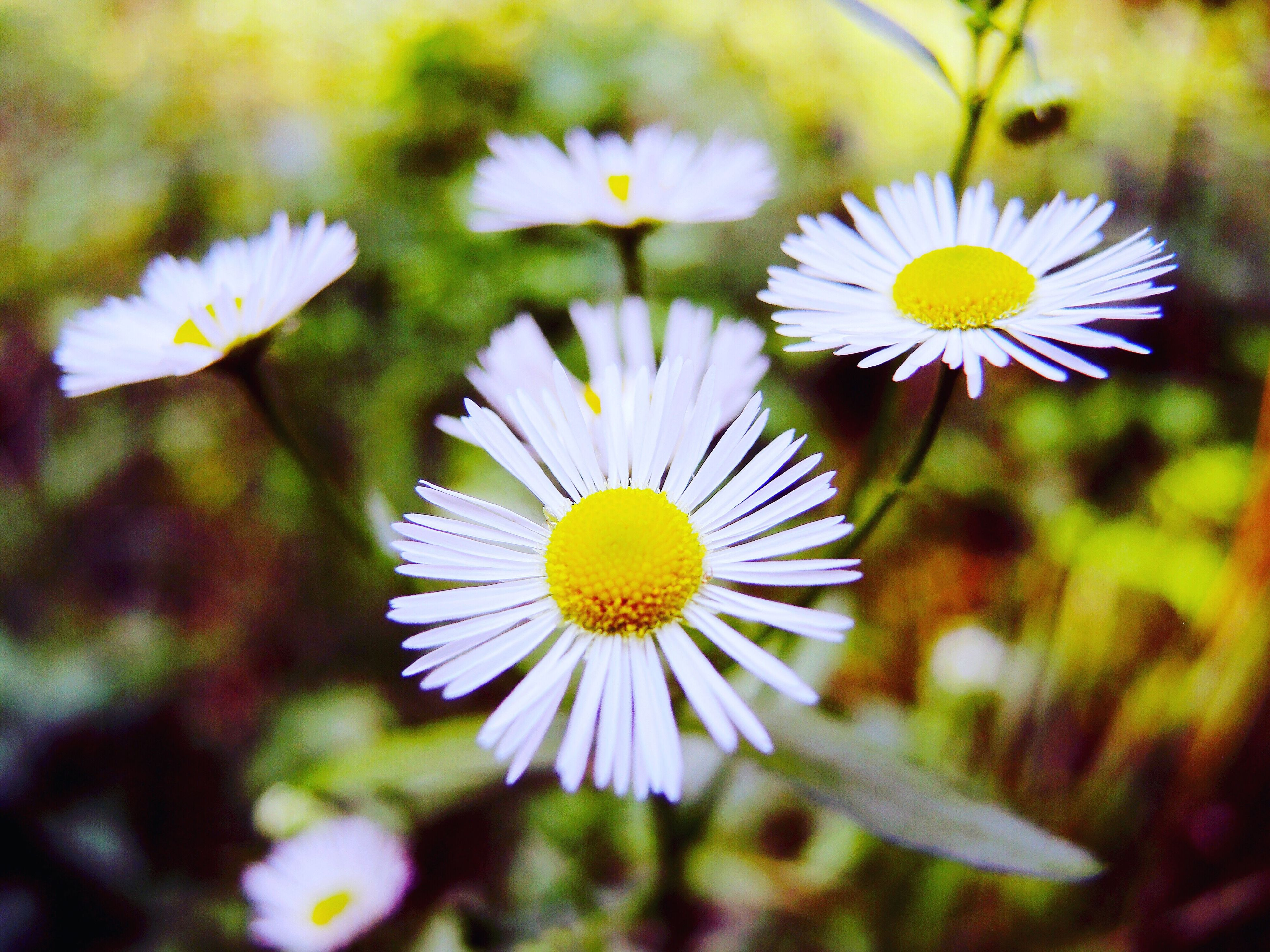 flower, freshness, fragility, daisy, flower head, petal, growth, beauty in nature, white color, close-up, season, springtime, nature, blossom, stem, in bloom, stamen, selective focus, plant, pollen, botany, daisies, focus on foreground, day, bloom, meadow, uncultivated, wildflower, blooming, no people, softness, growing
