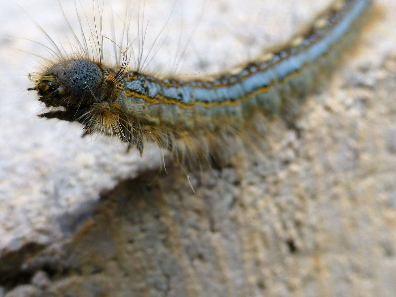 Caterpillar Close-up Insect Fearless Stand Up Macro