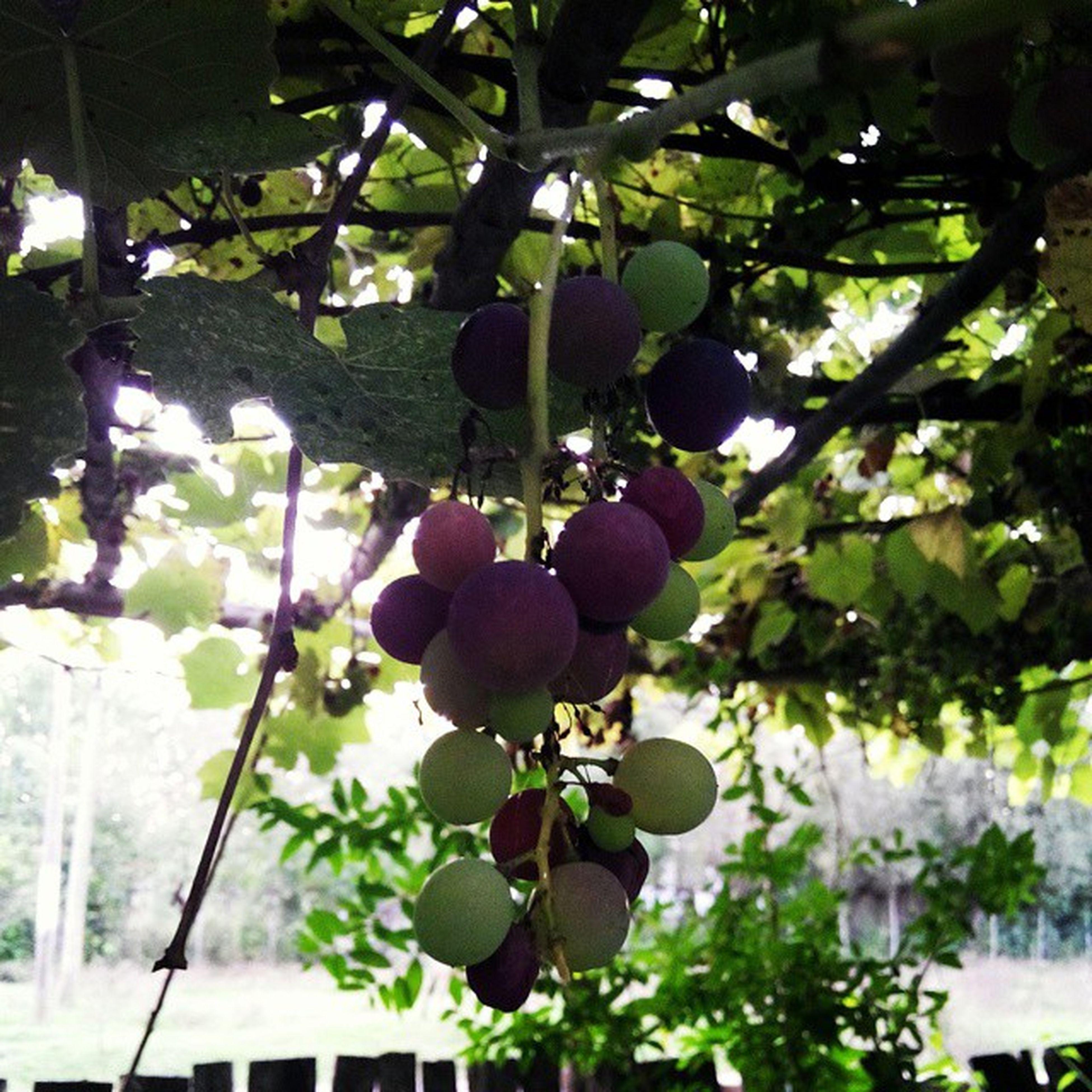 Olmuş üzümleri Yiyorum :)