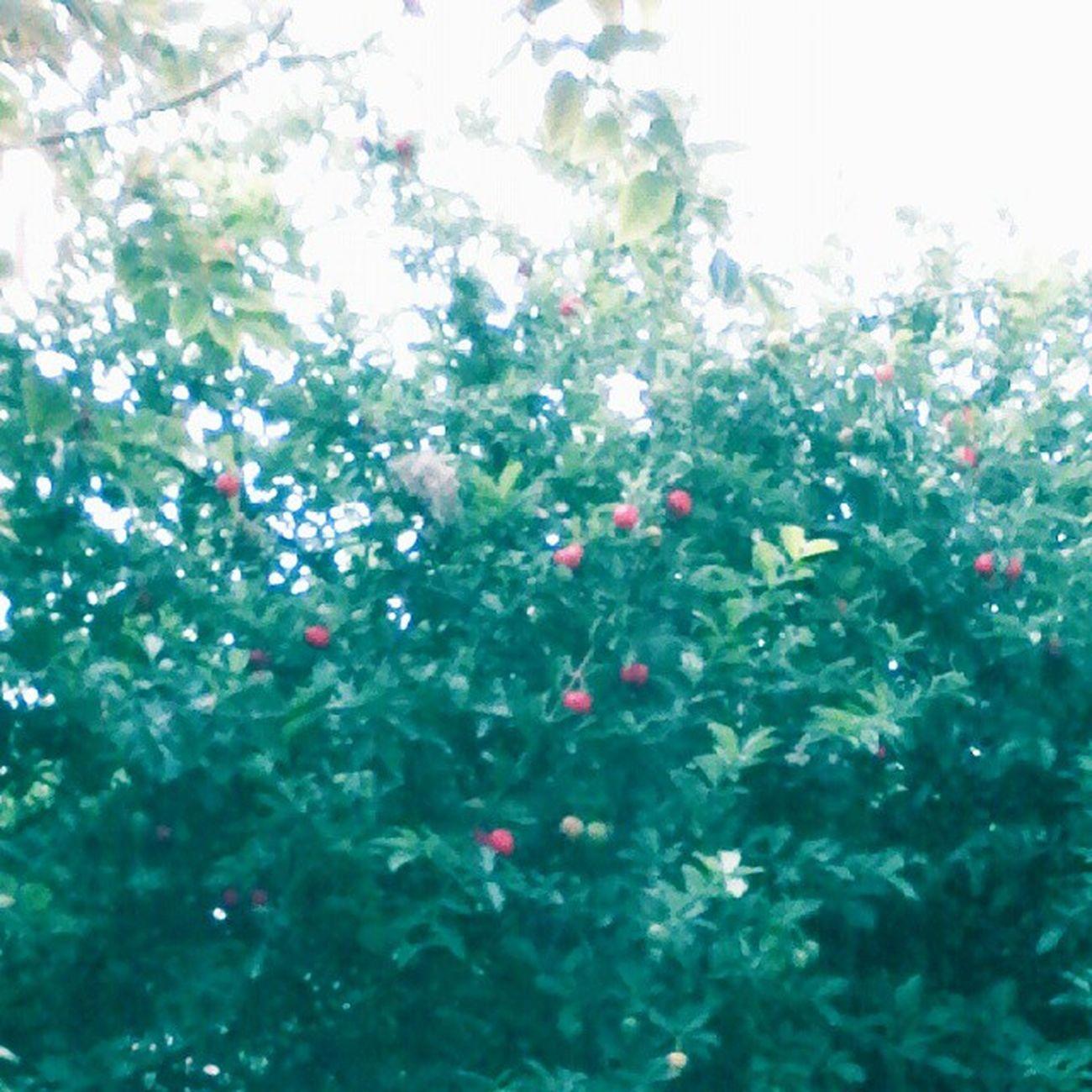 Nascendo Acerolas no Quintal muita Vitaminac 🌱🍃