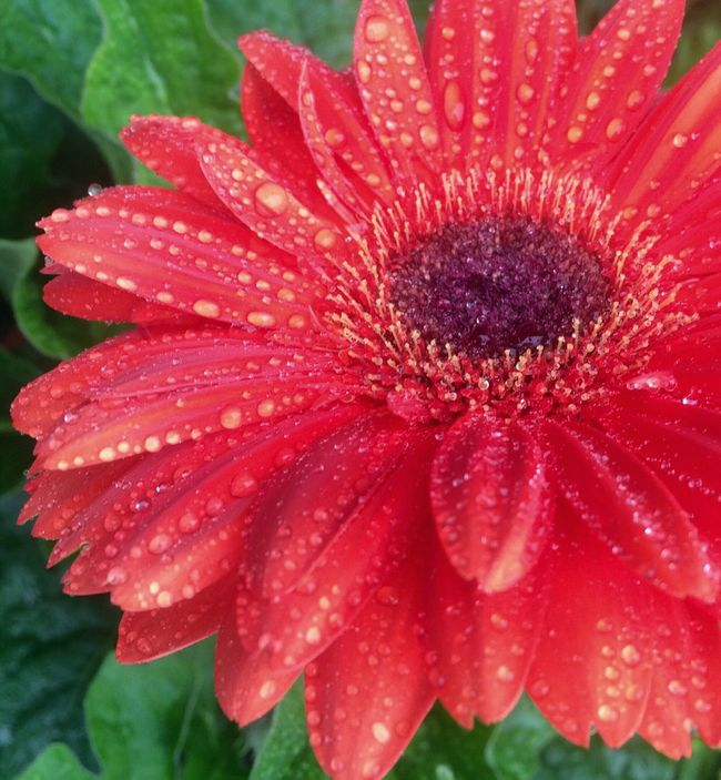 Gerberdaisy Gerberdaisy Daisy Flower Wet Close-up Beauty In Nature Vibrant Color