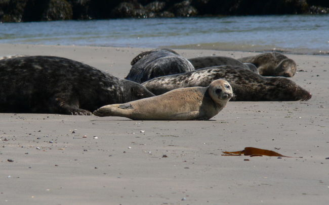 Animal Animal Themes Animals In The Wild Baby Seal Beach Helgoland Nature Non-urban Scene Ocean Resting Sea Seal Tranquil Scene Wildlife Zoology