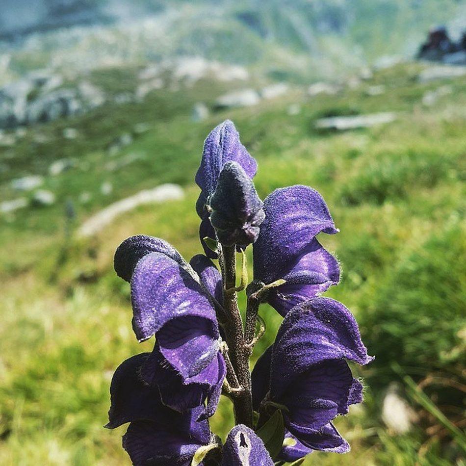 Flori de la cabana Podragu Podragu Fagaras Carpati Romania