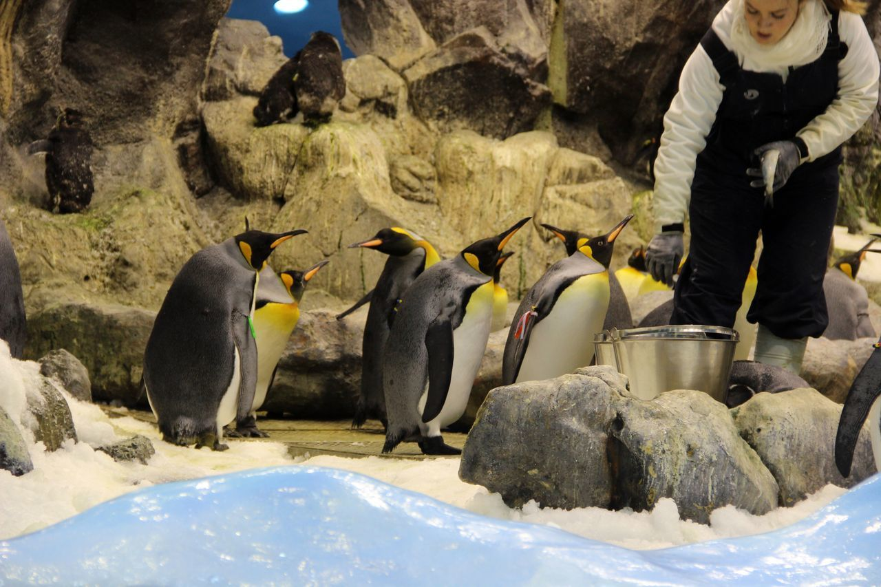 Female Zoo Keeper With Emperor Penguins At Zoo
