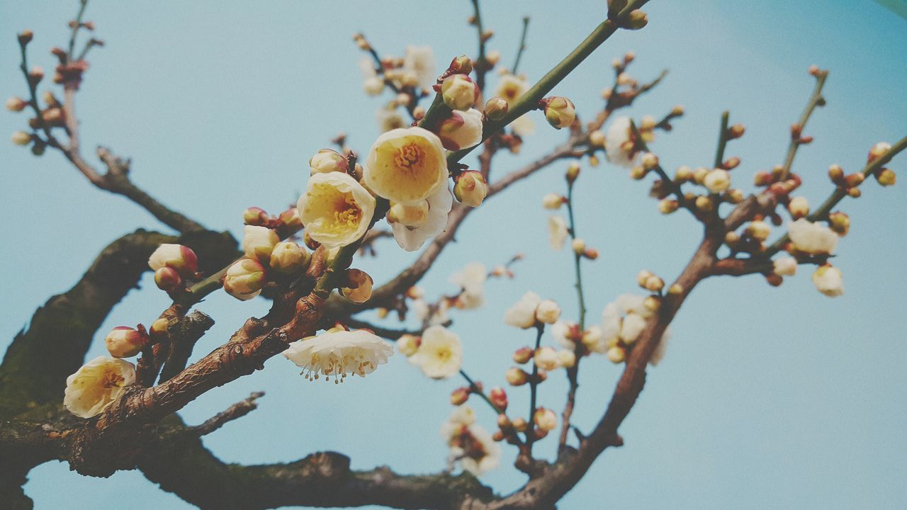 tree, flower, beauty in nature, growth, low angle view, nature, fragility, branch, springtime, freshness, day, twig, clear sky, no people, outdoors, blossom, apple blossom, selective focus, sky, close-up, plum blossom, flower head