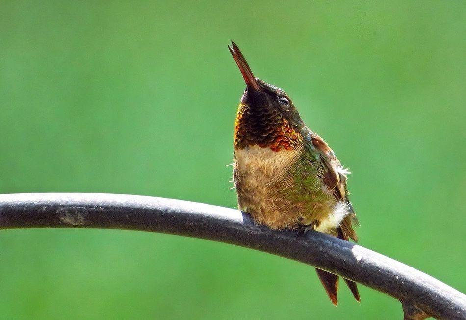 Beautiful stock photos of kolibri,  Beak,  Close-Up,  Day,  Focus On Foreground