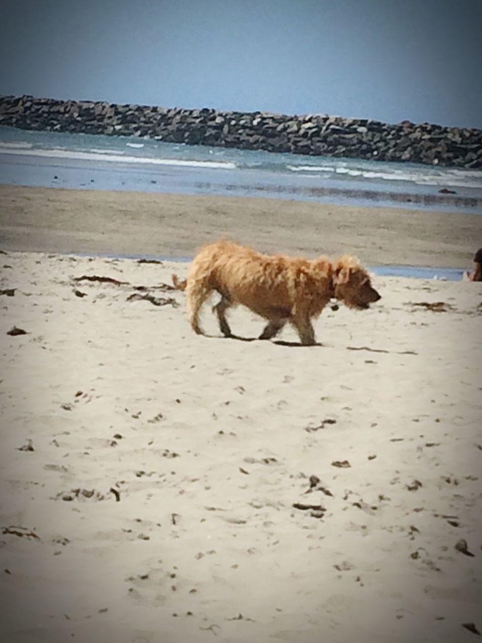 Mutt On The Beach Thief Taking Thing From Purses Cute Dog  HotSun Ob Ocean Beach