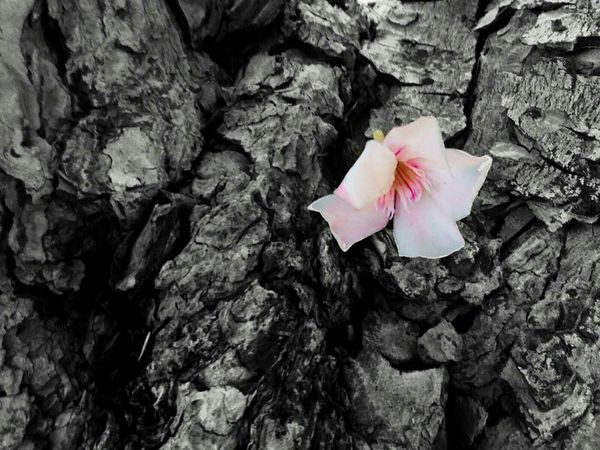 Fallen flower 🌼 Flower Tree Nature Art In Nature Bark Bark Texture Pink Taking Photos Street Photography Black And White EyeEm Nature Lover White Summer Beauty In Ordinary Things Contrast Macro Light And Shadow 43 Golden Moments Life And Death Showcase June