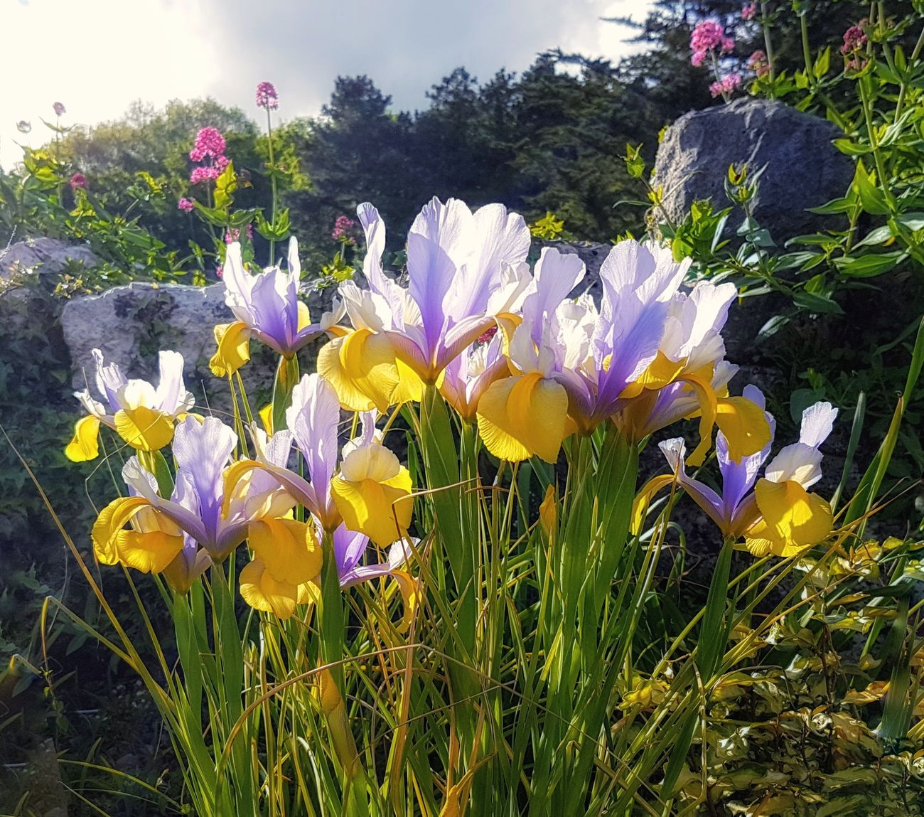 A dawn chorus of iris to wish you all a beautiful day... especially for my friend René... @creneb 🌞 Good Morning Iris Flower Nature Growth Lilac Color Yellow Color Plant Beauty In Nature Fragility No People Petal Flower Head Freshness Blooming Close-up Beauty In Nature Sunlight And Shadows Love Life ❤ EyeEm Nature Lover Live In The Moment