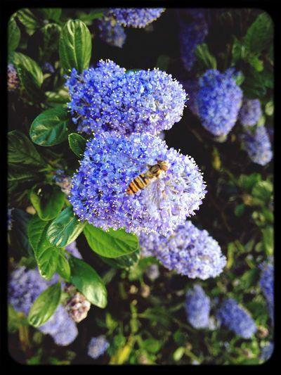 Ceanothus Flowers Macroclique
