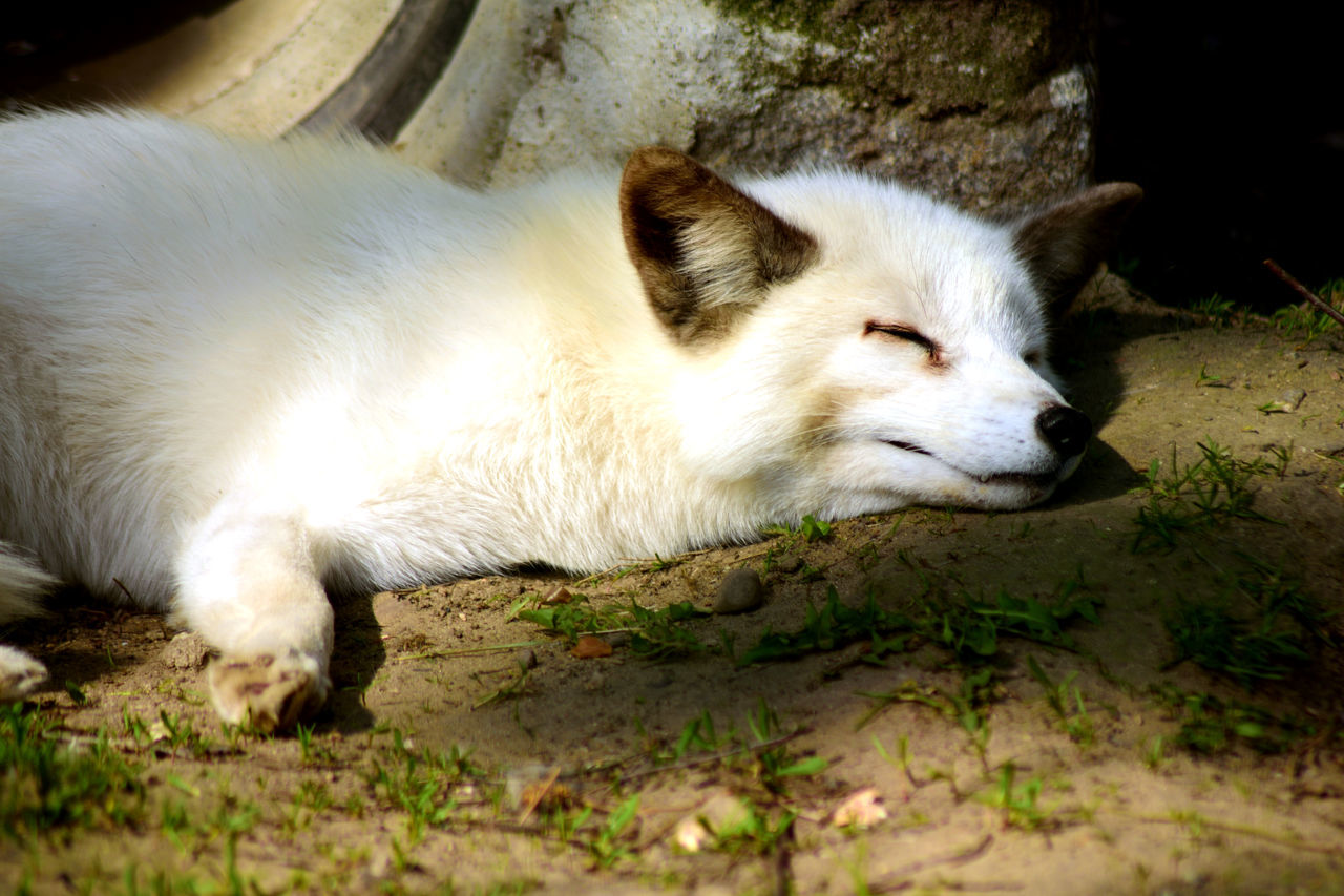 Animal Head  Animal Photography Animal Themes Animals Close-up Day Dog Domestic Animals EyeEmNewHere Focus On Foreground Hunter Lying Lying Down Mammal Nature No People One Animal Outdoors Pets Relaxation Sleeping Sleepy White White Fox The Great Outdoors - 2017 EyeEm Awards