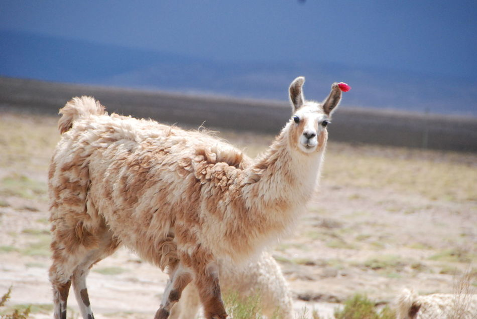 Beautiful stock photos of llama, Agriculture, Day, Domesticated Animal Tag, Focus On Foreground