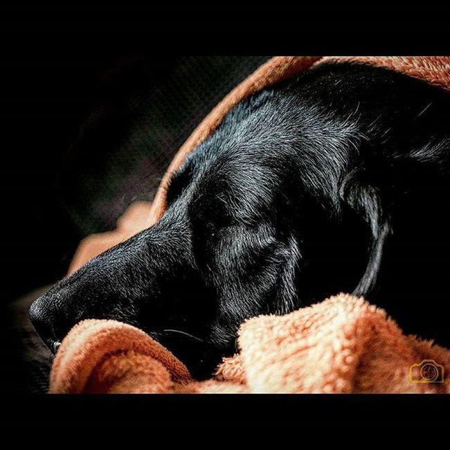 Labbi Labrador Blacklabrador Labby Abbey Dogs Blacklab Worldoflabs Dogsofinstagram Labsofinstagram Itsalabthing Testbild Laboftheday Sleep Dreaming Picoftheday Bestoftheday