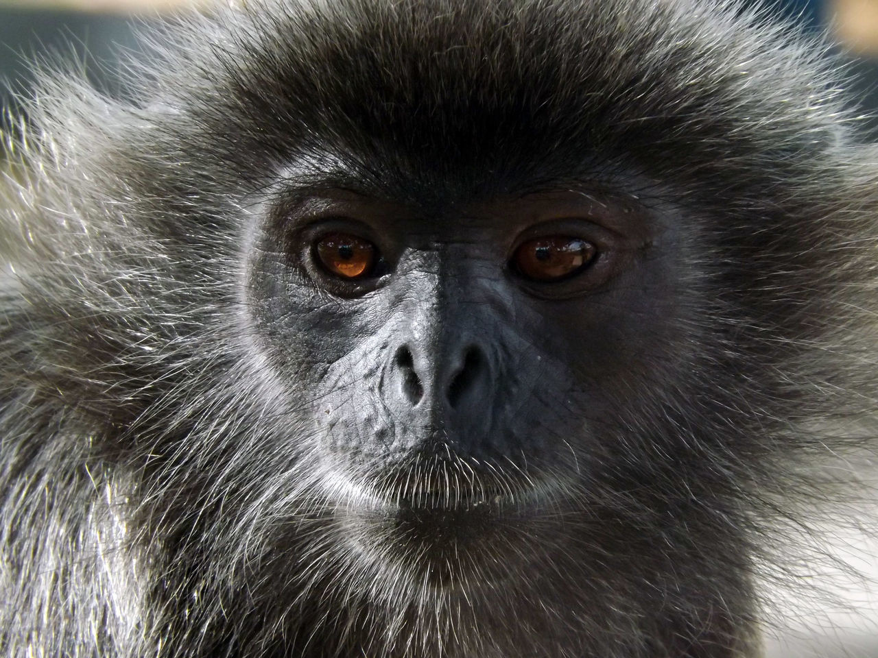 Animals Animal Animals In The Wild Animal Photography Animal_collection Monkey Langur Eyeem Monkeys Selangor
